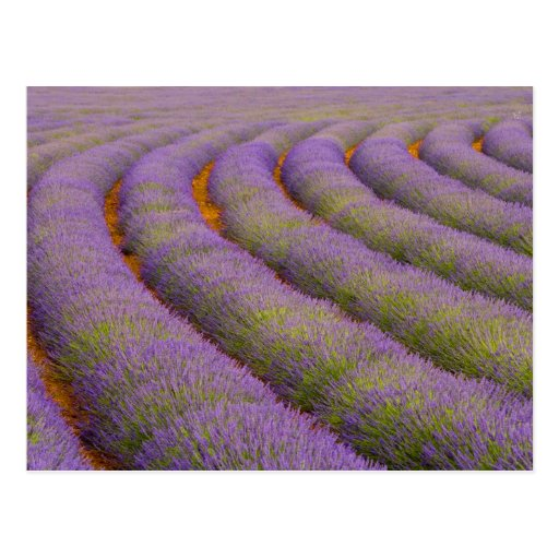 France, Provence region. Curved rows of Postcard