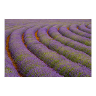 France, Provence region. Curved rows of Poster