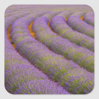 France, Provence region. Curved rows of Square Sticker