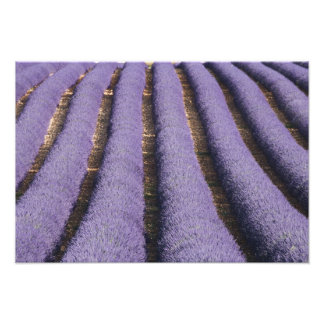 France, Provence. Rows of lavender in bloom. 2 Photograph