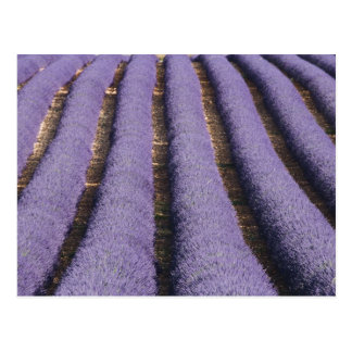 France, Provence. Rows of lavender in bloom. 2 Postcard
