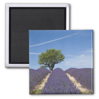 France, Provence. Rows of lavender in bloom. 4 Magnet