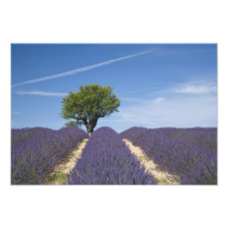 France, Provence. Rows of lavender in bloom. 4 Photo Print