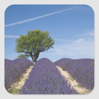 France, Provence. Rows of lavender in bloom. 4 Square Sticker
