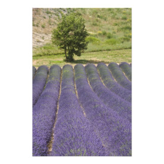 France, Provence. Rows of lavender in bloom. Photograph