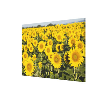France, Provence, Valensole. Field of Canvas Print