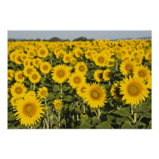 France, Provence, Valensole. Field of Poster