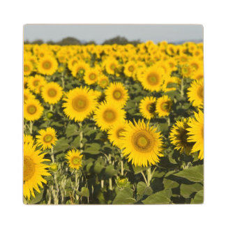 France, Provence, Valensole. Field of Wood Coaster