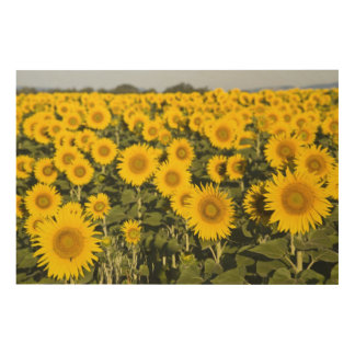 France, Provence, Valensole. Field of Wood Wall Art