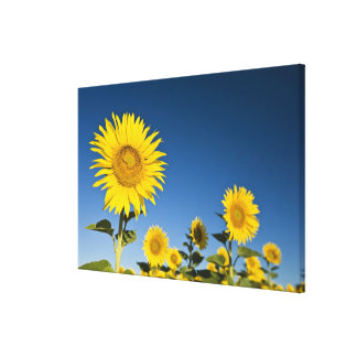 France, Provence, Valensole. Sunflowers stand Canvas Print