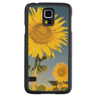France, Provence, Valensole. Sunflowers stand Carved Maple Galaxy S5 Case