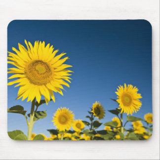 France, Provence, Valensole. Sunflowers stand Mouse Mat
