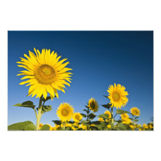 France, Provence, Valensole. Sunflowers stand Photograph