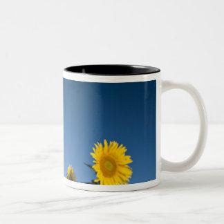 France, Provence, Valensole. Sunflowers stand Two-Tone Coffee Mug