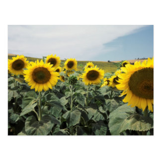 France Provence, View of sunflowers field Postcard