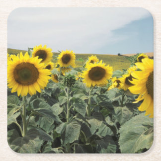 France Provence, View of sunflowers field Square Paper Coaster