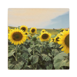 France Provence, View of sunflowers field Wood Coaster