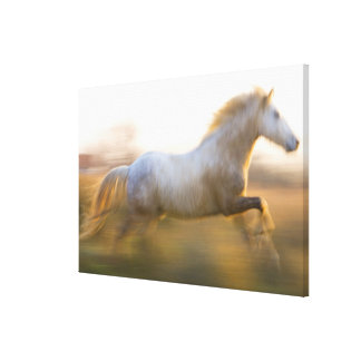 France, Provence. White Camargue horse running. Canvas Print