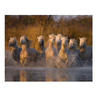 France, Provence. White Camargue horses Postcard