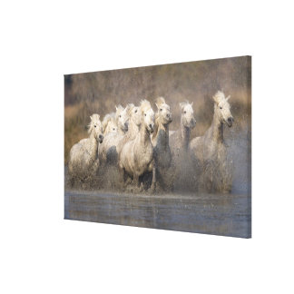 France, Provence. White Camargue horses running Canvas Print
