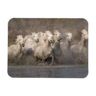France, Provence. White Camargue horses running Magnet