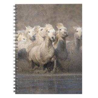 France, Provence. White Camargue horses running Notebook