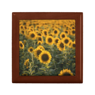 France, Vaucluse, sunflowers field Gift Box