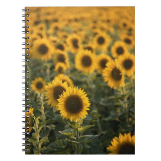 France, Vaucluse, sunflowers field Notebook