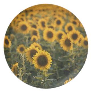 France, Vaucluse, sunflowers field Plate