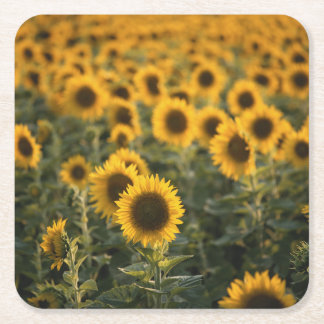 France, Vaucluse, sunflowers field Square Paper Coaster
