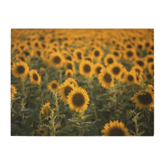 France, Vaucluse, sunflowers field Wood Wall Art