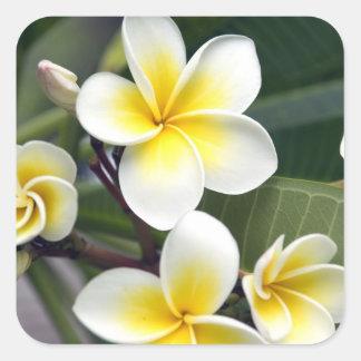 Frangipani flower Cook Islands Square Sticker
