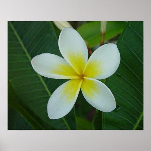Frangipani Flower Posters