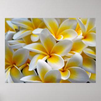 Frangipani Plumeria Flower Photo Poster
