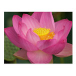 Franklin NC, Perry's Water Garden, Lotus 2 Postcards