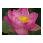 Franklin NC, Perry's Water Garden, Lotus 2 Poster