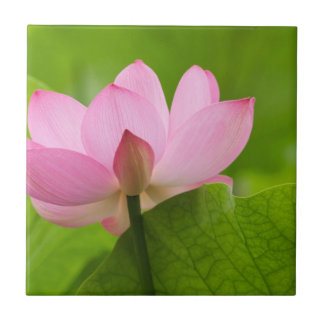 Franklin NC, Perry's Water Garden, Lotus Small Square Tile