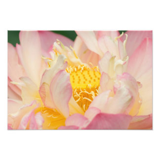 Franklin NC, Perry's Water Garden, Lotus with Photo Print