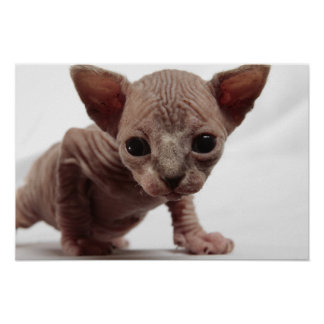 Freaky Cute Furless Sphynx Kitten Posters