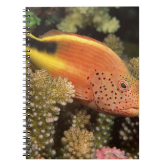 Freckled hawkfish perches on stony corals notebook