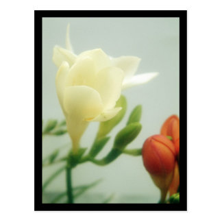Freesias | postcard