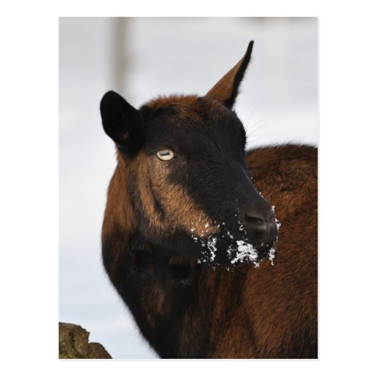 French alpine goat postcard