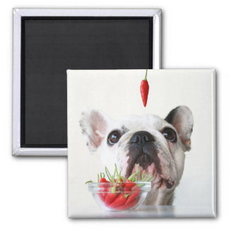 French Bulldog Looking At A Red Pepper Square Magnet