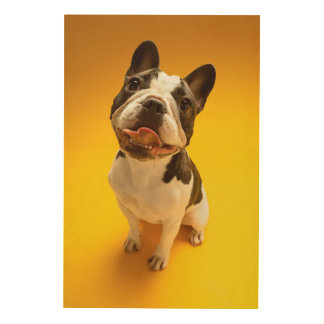 French Bulldog Looking Up Wood Print
