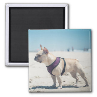 French Bulldog On Beach Magnet