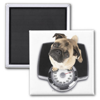 French bulldog on scales looking up at camera square magnet