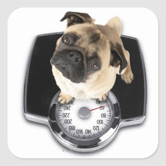 French bulldog on scales looking up at camera square sticker