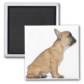 French Bulldog puppy (3,5 months old) Magnet