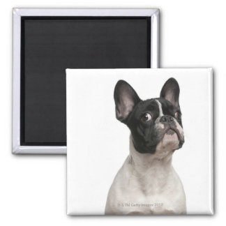French Bulldog puppy (5 months old) Magnet