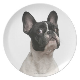 French Bulldog puppy (5 months old) Plate